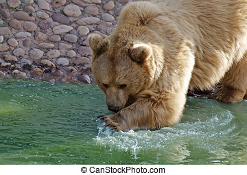 brown bear  - A brown bear playing with the water