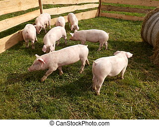 Litter of piglets in a wooden stock enclosure