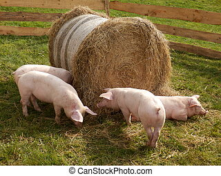 Litter of piglets - Piglets feeding from a hay bale
