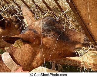 Goat feeding from a hay trough