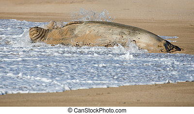 Hawaiian Monk Seal in Surf - Hawaiian Monk Seal lying in the...