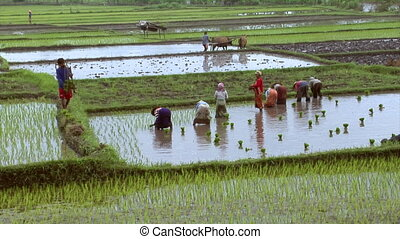 many woman plants rice