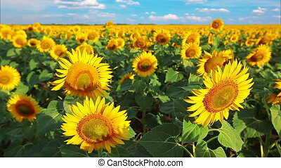 flowering sunflowers