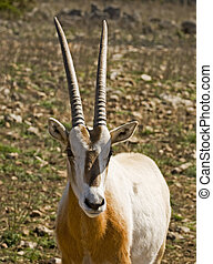 Scimitar Horned Oryx - Macro image of head of a Scimitar...