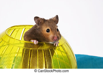 Hamster Popping out of yellow Ball