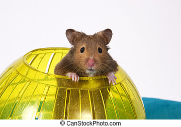Hamster in Ball - Hamster Popping out of yellow Ball