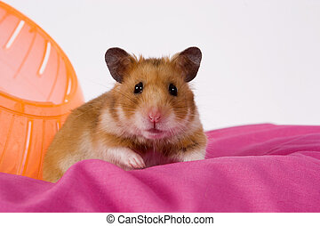 Hamster with Ball on Pink Blanket