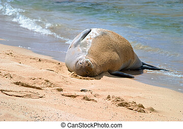 Hawaiian Monk Seal on beach - Hawaiian Monk Seal lying in...