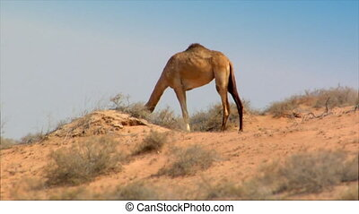 dromedary heat desert - Long distance shot with waving heat...