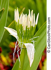 White Spider Lily - Closeup of a budding white spider lily