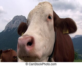 austrian cow super close 2 cam