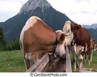 austrian cows in the mountain
