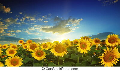 flowering sunflowers on a background sunset