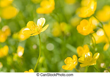 buttercup - the yellow buttercup field closeup