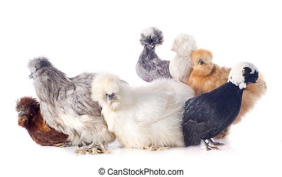 young Silkies and dutch bantam - group of bantam silkie and...