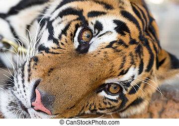 face adult tiger