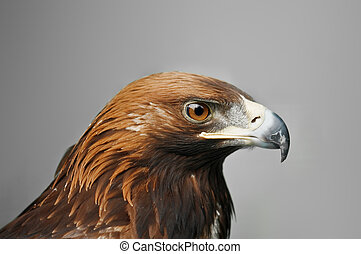 eagle - golden eagle isolated on grey background