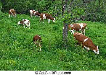 Cows - Herd of cows in nature, grazing in rural scene