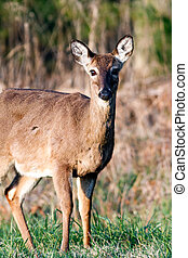Cades Cove Deer - A deer photographed in the early morning...