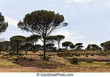 Pine forest, Provence, France - Pine forest Pinus pinea with...
