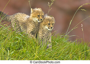 Cheetah cubs side by side - brother and sister