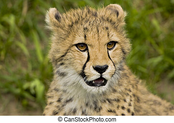 Wild thing - Young cheetah