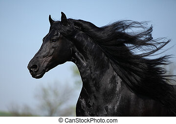 Gorgeous friesian stallion with flying long hair - Portrait...
