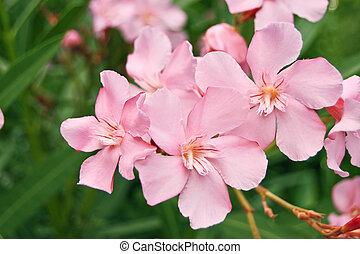 oleander - pink flover of oleander closeup