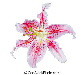 Lily - Exotic lily with clipping path