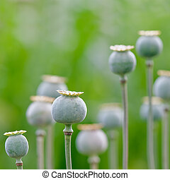 poppy - green poppy field close up