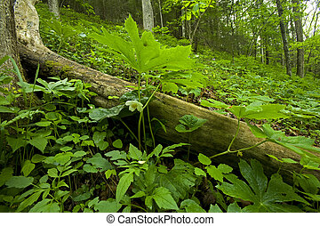 Mayapple, Spring, Whiteoak Sink, Great Smoky Mtns NP, TN -...