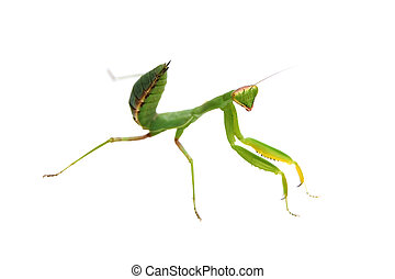 mantis - green mantis isolated on white