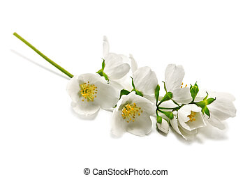 jasmine twig isolated on white