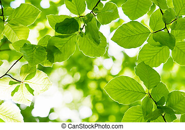beech - new beech leaf in morning forest