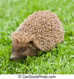 hedgehog - young hedgehog on green lawn