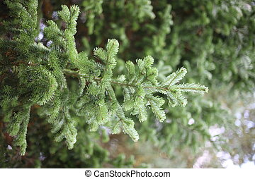 firtree,background, branch, close, closeup, color, conifer,...