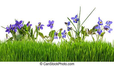 fleurs, herbe, isolé, violettes