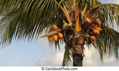 coconut palm tree blowing in the wind