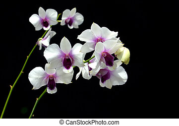 Dendrobium orchid on black background