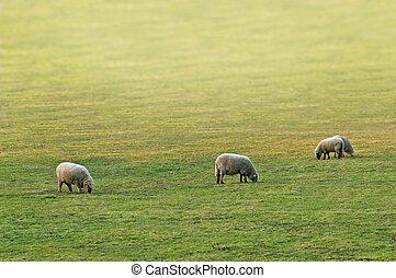 sheeps - three sheeps on green meadow