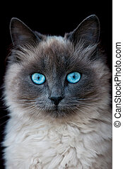 cat - siamese cat portrait isolated on black
