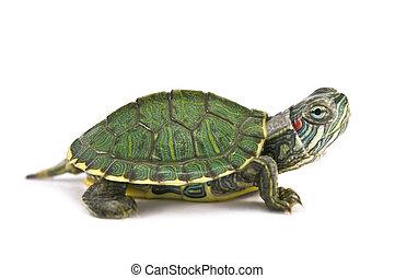 tortoise - red ear tortoise isolated on white