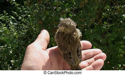 Little wild bird in human hands - A hand above green bushes...
