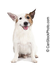 jack russel terrier dog on the white background