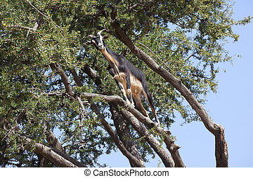 Argan tree Argania spinosa with goat This tree is endemic to...