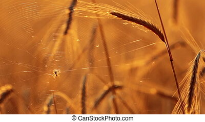 wheat at dawn