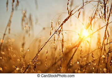 sunrise - grass with drops on morning