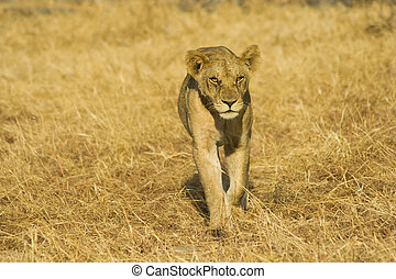 Young Lion - Young lion walking in Mikumi National Park,...