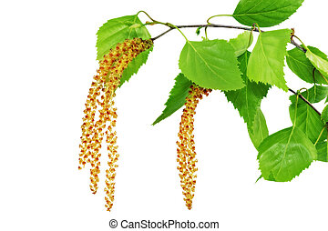 Birch catkins isolated on white background. - Birch catkins...