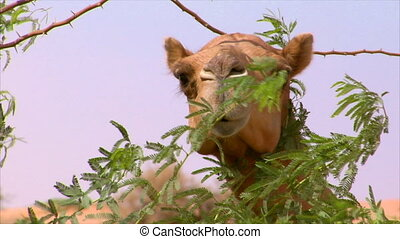camel watch behind a tree